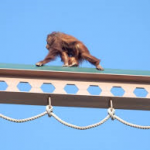 High Bridge for Orangutans